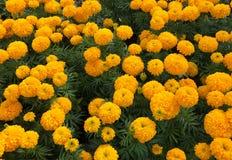 Bello erecta giallo di tagetes del giardino del tagete Fotografie Stock Libere da Diritti