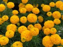 Bello erecta giallo di tagetes del giardino del tagete Fotografia Stock
