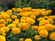 Bello erecta giallo di tagetes del giardino del tagete - FO selettive Immagine Stock