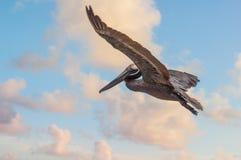 Bello esemplare di singolo volo sudamericano del pellicano con le ali aperte sopra l'oceano al tramonto con il cielo nuvoloso immagine stock libera da diritti
