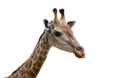 Bello esemplare di una giraffa matura i Immagine Stock Libera da Diritti