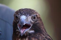 Bello falco messo rosso fotografia stock libera da diritti