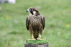 Bello falco preparato per cercare Fotografia Stock Libera da Diritti