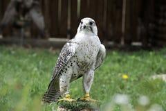 Bello falco preparato per cercare Immagini Stock