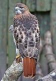 Bello falco rosso della coda Immagini Stock Libere da Diritti