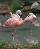 bello fenicottero rosa con le piume colorate ed il becco lungo Immagine Stock Libera da Diritti