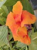 Bello fiore arancio del giglio Fotografia Stock Libera da Diritti