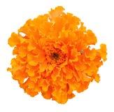 Bello fiore arancio del tagete su fondo bianco Tagete africano Fotografia Stock Libera da Diritti