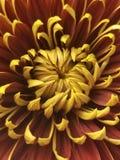 Bello fiore arancio e giallo fotografia stock libera da diritti