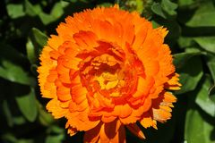 Bello fiore arancio nel Nord della Tailandia immagini stock