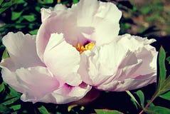 Bello fiore bianco Immagine Stock Libera da Diritti