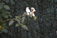 Bello fiore bianco fotografia stock libera da diritti
