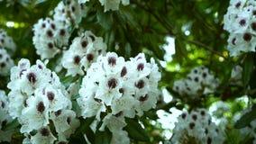 Bello fiore bianco del rododendro su un fondo verde Correzione di colore video d archivio