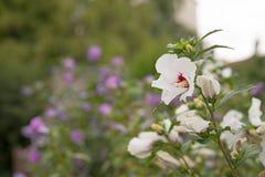 Bello fiore bianco dell'ibisco Immagine Stock Libera da Diritti