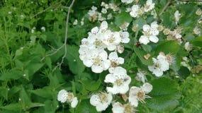 Bello, fiore bianco della mela nel tempo di molla dovuto del sud della Repubblica federale di Germania immagine stock