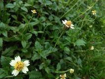 bello fiore bianco di colore delle foto naturali dello Sri Lanka Fotografia Stock