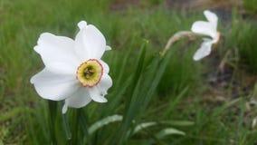 bello fiore bianco di galleggiamento semplice fuori Fotografia Stock