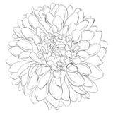 Bello fiore in bianco e nero monocromatico della dalia isolato su fondo Linee di contorno disegnate a mano Fotografia Stock Libera da Diritti