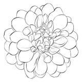 Bello fiore in bianco e nero monocromatico della dalia isolato su fondo Linee di contorno disegnate a mano Fotografia Stock