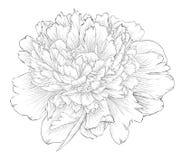 Bello fiore in bianco e nero monocromatico della peonia isolato su fondo bianco Fotografia Stock Libera da Diritti
