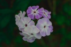 Bello fiore bianco e porpora su fondo blury verde fotografia stock libera da diritti