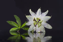 Bello fiore bianco esotico del carpello di passiflora Foetida su fondo nero fotografia stock libera da diritti