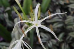 Bello fiore bianco in giardino con la foglia Immagini Stock Libere da Diritti