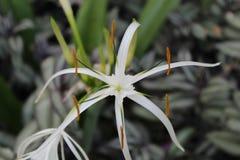 Bello fiore bianco in giardino con la foglia Immagini Stock