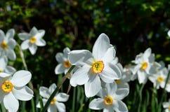 Bello fiore bianco, rosso e giallo di tauricum di aconitum dalle alpi di estate Fotografia Stock Libera da Diritti