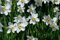 Bello fiore bianco, rosso e giallo di tauricum di aconitum dalle alpi in sole di estate Fotografie Stock