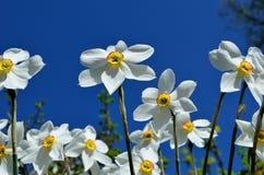 Bello fiore bianco, rosso e giallo di tauricum di aconitum dalle alpi in sole di estate Fotografia Stock