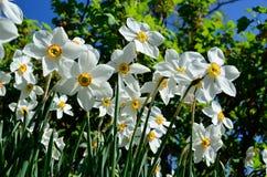 Bello fiore bianco, rosso e giallo di tauricum di aconitum dalle alpi in sole di estate Immagine Stock