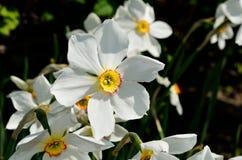 Bello fiore bianco, rosso e giallo di tauricum di aconitum dalle alpi in sole di estate Fotografie Stock Libere da Diritti