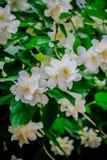 Bello fiore bianco sempreverde del gelsomino fotografie stock