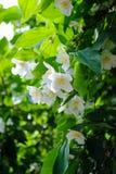 Bello fiore bianco sempreverde del gelsomino fotografia stock libera da diritti