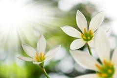 Bello fiore bianco sul fondo del sole Fotografia Stock