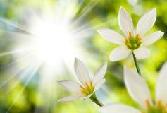 Bello fiore bianco sul fondo del sole Immagini Stock Libere da Diritti