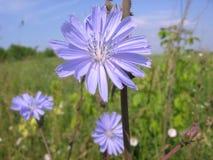 Bello fiore blu della cicoria nell'erba luminosa immagine stock libera da diritti