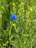 Bello fiore blu selvaggio di fiordaliso in prato, primo piano Fuoco selettivo Concetto delle stagioni, ecologia, pianeta verde Fotografia Stock