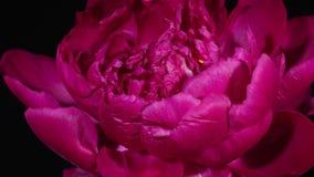 Bello fiore che fiorisce sul fondo nero archivi video