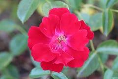 Bello fiore croccante e rosso immagini stock libere da diritti