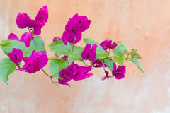 Bello fiore del bougainvillea Fotografie Stock