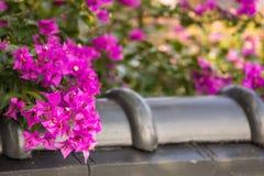 Bello fiore del bougainvillea Fotografia Stock