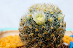 Bello fiore del cactus con il fuoco selettivo Fotografia Stock