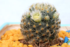 Bello fiore del cactus con il fuoco selettivo Immagine Stock