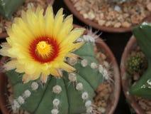 Bello fiore del cactus nel giardino Fotografie Stock