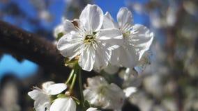 Bello fiore del ciliegio della molla Primo piano di fioritura fresco della ciliegia di Pasqua stock footage