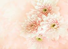 Bello fiore del crisantemo nello stile d'annata di colore con morbido e blured immagine stock