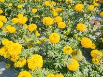 Bello fiore del fiore del tagete nell'azienda agricola del fiore di agricoltura Immagine Stock