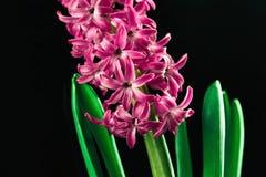 Bello fiore del giacinto Immagine Stock Libera da Diritti